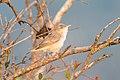 Oostelijke-vale-spotvogel-1 (28363565770).jpg