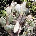 Opuntia galapageia.jpg
