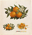 Oranges and Poppies (Boston Public Library).jpg