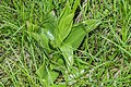 Orchis × hybrida 03.jpg