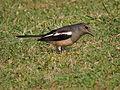 Oriental Magpie Robin, Mohali Punjab , India 02.JPG