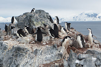 Chinstrap penguin - Chinstrap penguin colony near Orne Harbor, Antarctic Peninsula