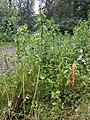 Orobanche reticulata subsp. pallidiflora sl2.jpg