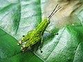 Orthoptera (8035447715).jpg