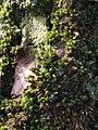 Orthotrichum diaphanum 109636388.jpg