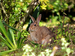 Wild European Rabbit - Photo (c) Paulo Costa, some rights reserved (CC BY-SA)