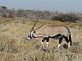 Oryx gazella (Gemsbok) 1.jpg