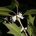 Osmanthus heterophyllus (flower s3).jpg