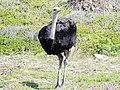 Ostrich (44750662151).jpg