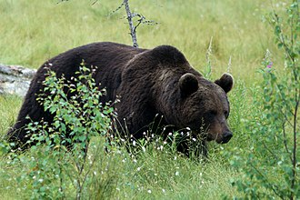 Finnish paganism - The bear was a sacred animal to the Finnish pagans.