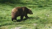 Datei:Ours marchant à Juraparc 720p.ogv