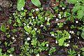 Oxalis acetosella (Oxalidaceae) (26971015891).jpg