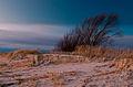 Pärnu ranna tuulepõõsas.jpg