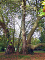 P1290013 Savennieres platane rwk.jpg