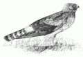 PSM V51 D615 Marsh hawk.png