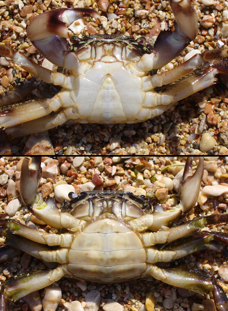 Pachygrapsus marmoratus male female.png