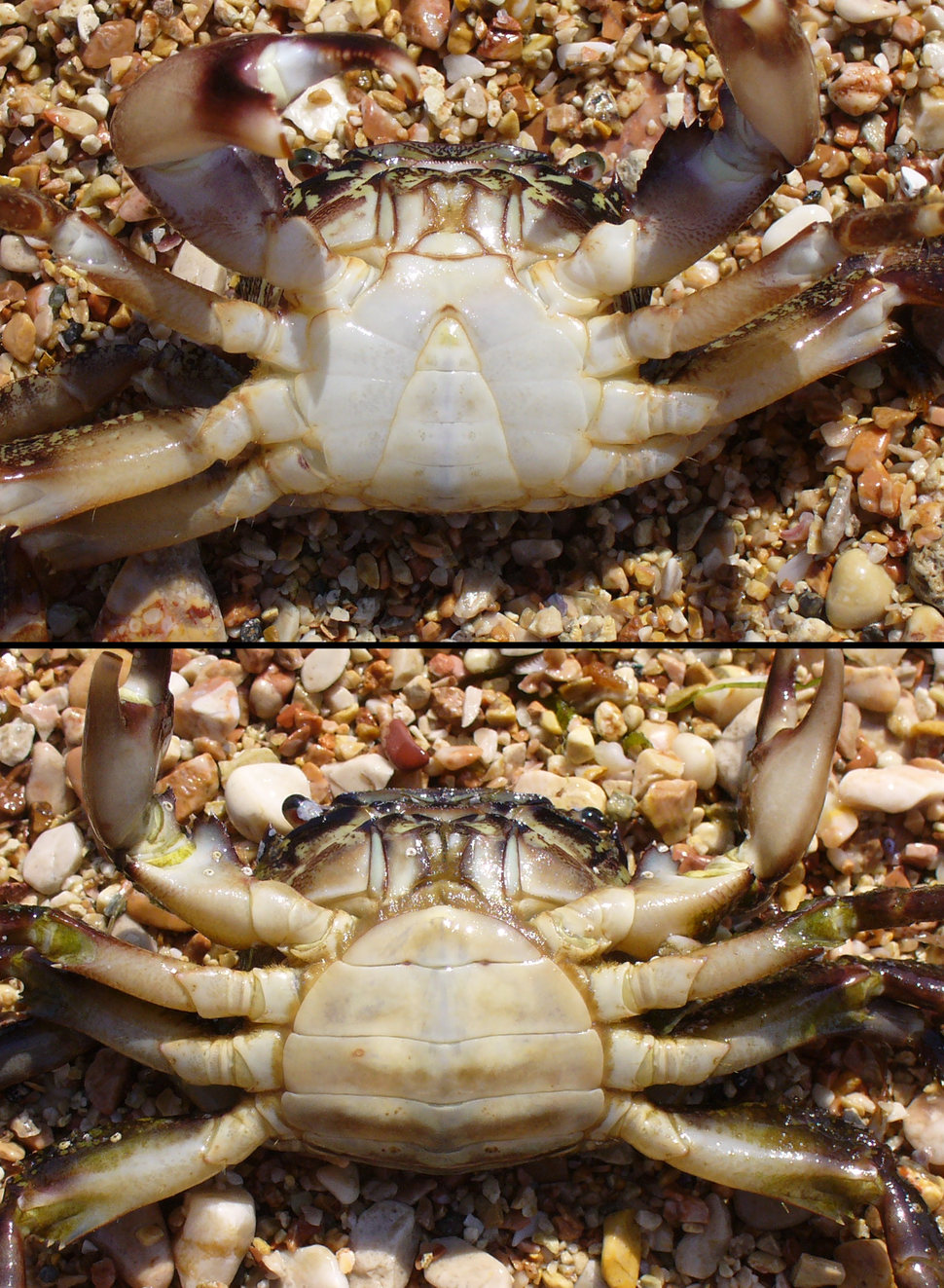 Pachygrapsus marmoratus male female