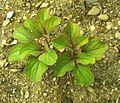 Paeonia daurica Orjen.jpg