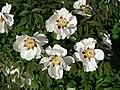 Paeonia suffruticosa G02.jpg
