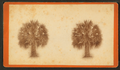 Palmetto trees, by Ryan, D. J., 1837- 2.png