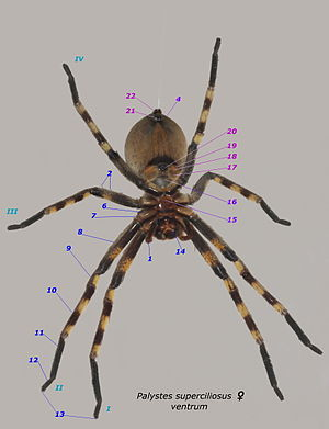 Spider - Nos 1 to 14 as for dorsal aspect