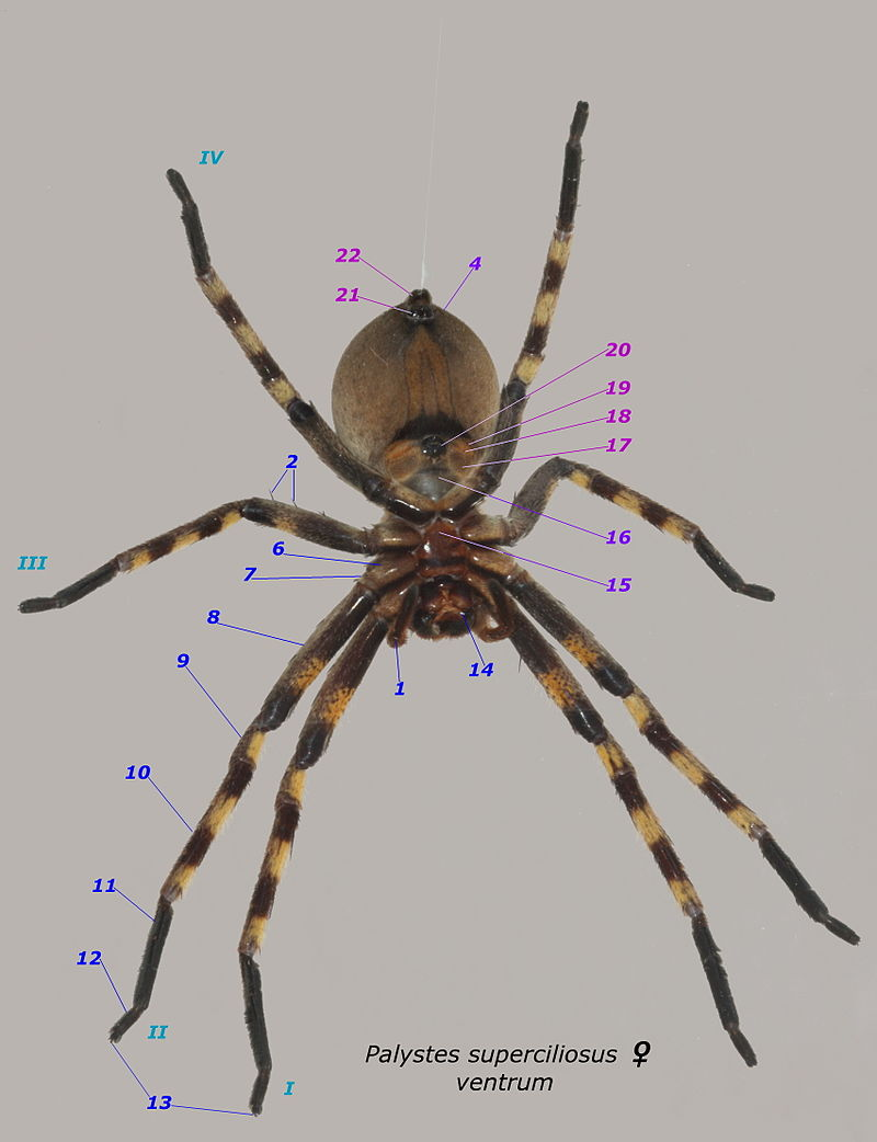 Palystes superciliosus female ventral annotation numbers.JPG