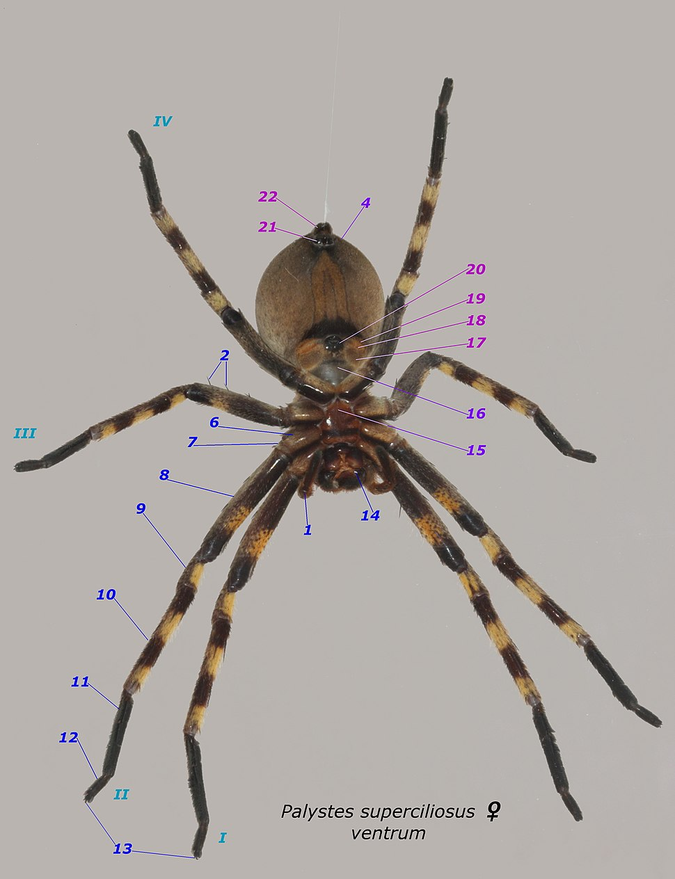 Palystes superciliosus female ventral annotation numbers