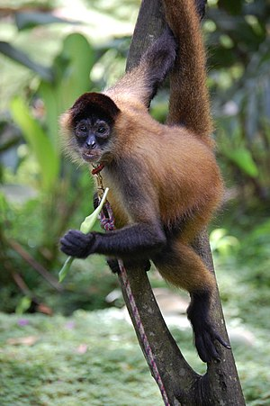 Geoffroy's spider monkey - A. g. ornatus in southern Costa Rica