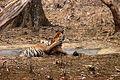 Panthera tigris tigris cubs play fighting.jpg