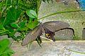 Papilio helenus - Japan - sep2011.jpg
