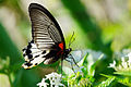 Papilio memnon heronus female tailless 20130803.jpg