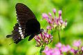 Papilio polytes polytes male 20130804.jpg