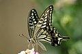 Papilio xuthus 1024px.jpg