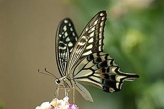 https://upload.wikimedia.org/wikipedia/commons/thumb/1/16/Papilio_xuthus_1024px.jpg/320px-Papilio_xuthus_1024px.jpg