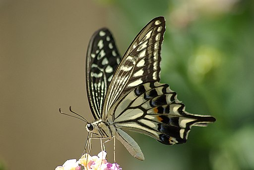 Papilio xuthus 1024px