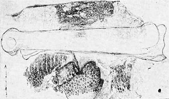 Parahesperornis - Photograph of scutes and feather impressions of the tarsal region of specimen (KUVP 2287) published by Williston (1898) in the University Geological Survey of Kansas