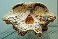Paranthropus robustus skull.jpg