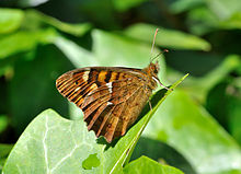 Kanaren waldbrettspiel wikipedia for Botanische tuin tenerife