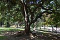 Parc de Benicalap, arbre.JPG