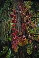 Parthenocissus quinquefolia Wilder Wein.jpg