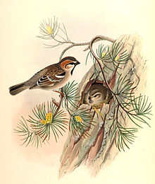 A male and a female saxaul sparrow at a nest in a pine tree, with the female in the nest, and the male perching on a branch