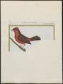Passerina cucullata - 1700-1880 - Print - Iconographia Zoologica - Special Collections University of Amsterdam - UBA01 IZ16000263.tif