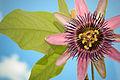 Passiflora Perfume Passion (7340589158).jpg