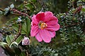 Passiflora mixta flower.jpg