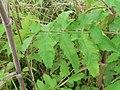 Pastinaca sativa subsp. urens leaf (01).jpg