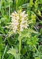 Pedicularis foliosa in Haute-Savoie (1).jpg