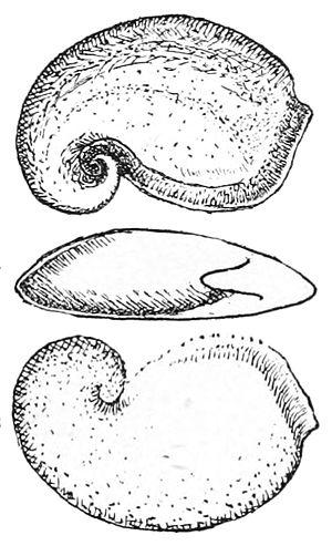 Helcionelloida - Pelagiella atlantoides