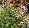 Pelargonium triste 3.jpg