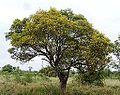 Peltophorum africanum, habitus, b, Zoutpan.jpg