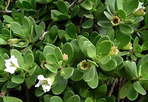 Pemphis acidula - Closeup of flowers and young leaves; Tonga.